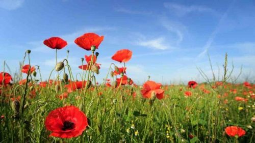 167308-fields-of-real-poppies-remembrance-day